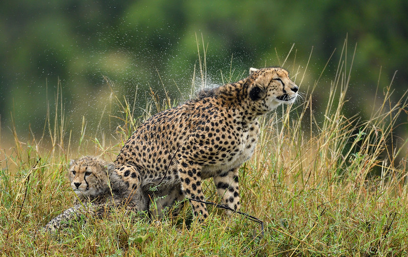 Shaking-the-water-away-cheetah-masai-mara.jpg