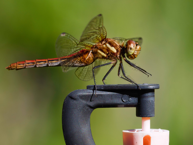 Dragonfly using a man made vantage point.
