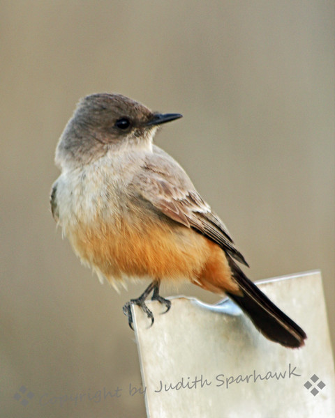 Say's Phoebe ~ This phoebe was photographed at San Jacinto Wildlife Area in Southern California.  It was flying out to catch insects, and kept returning to one of two metal posts.  He was pretty cooperative in posing for his portrait.