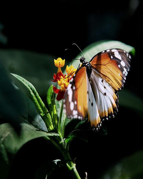 Butterfly orange black.jpg