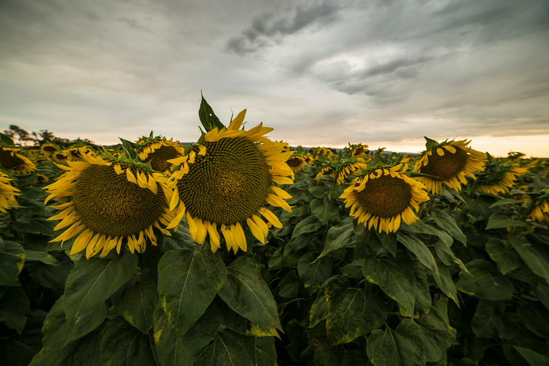 Sunflowers (2014-07-20)