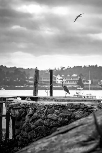 Blue Heron and gull-1.jpg