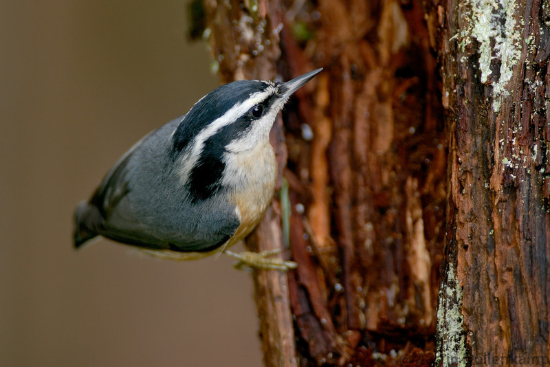 nuthatchonroot.jpg