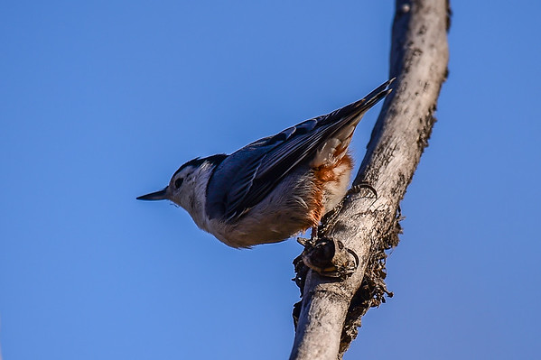 10-28-15 White-breasted Nuthatch