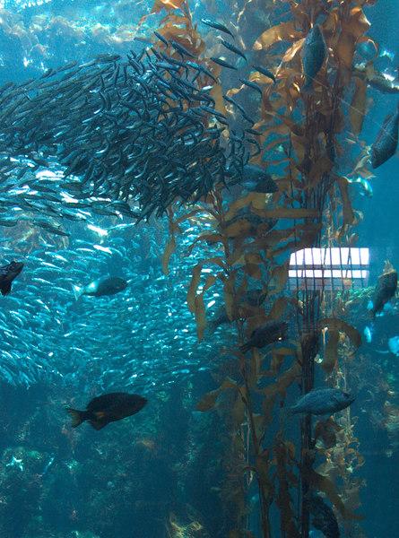 Monterey Bay Aquarium (IV)