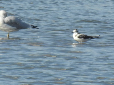 Little Gull, juvenile