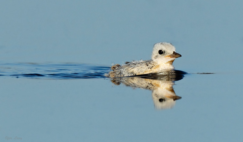 Little Tern baby swimming MASTER.jpg