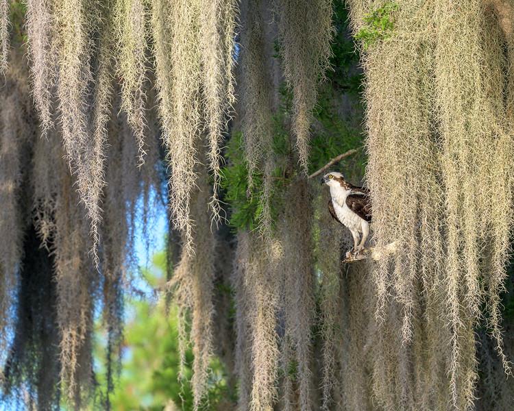 2021_KSMetz_Florida_Osprey Trip_April07_NIKON D850_4933.jpg