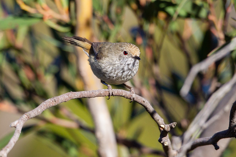 Brown-Thornbill-16_11_069999_79.jpg