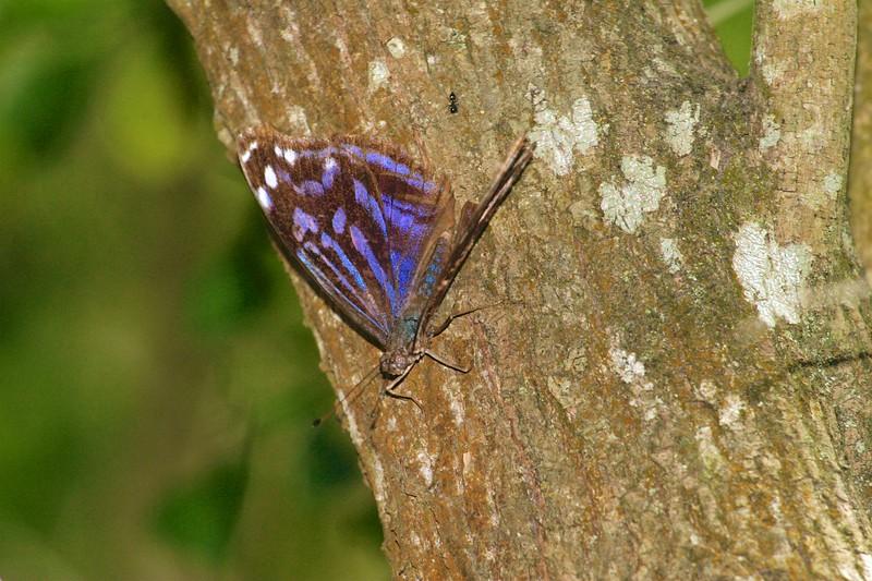 bluewing Mexican Bluewing Myscelia ethusa Santa Ana NWR TX 75-405_0532.jpg