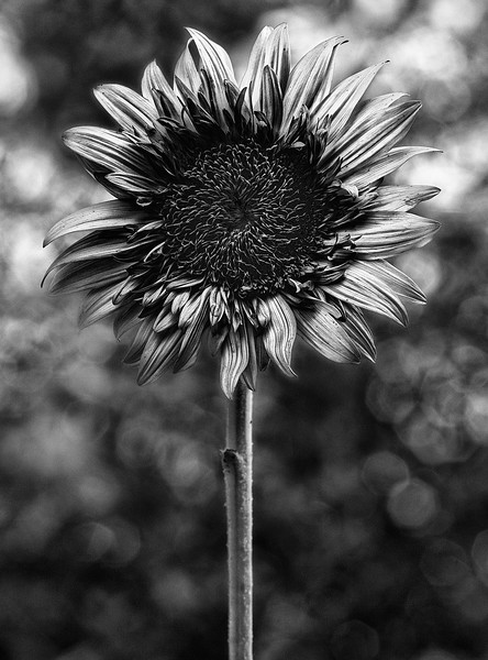 sunflower-01bw.jpg