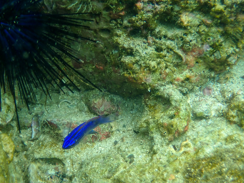 tropical fish in the ocean near an urchin