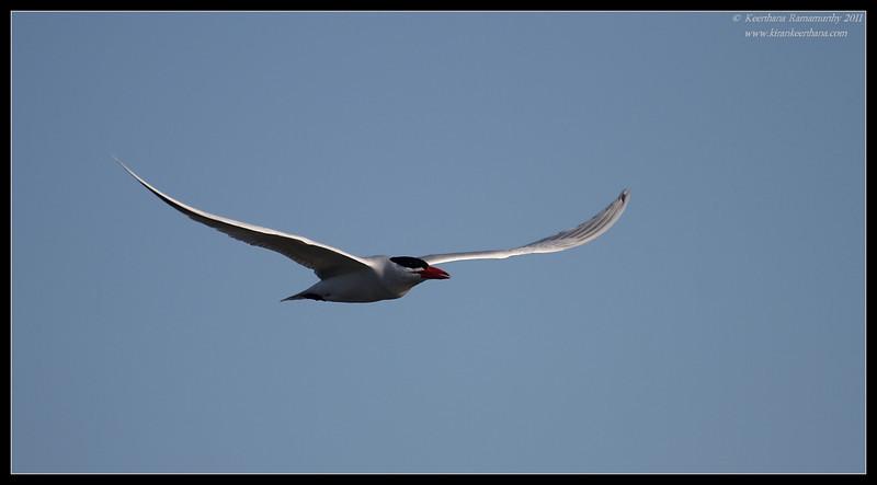 Caspian Tern, Flood Control Channel, San Diego RIver, San Diego County, California, April 2011
