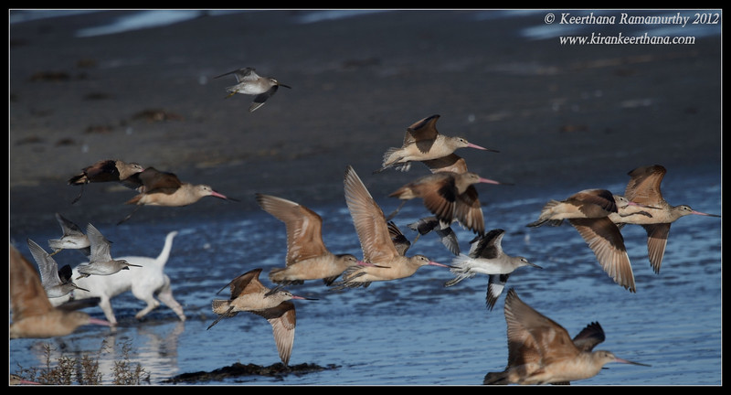 Short-billed Dowitcher & Marbled Godwits taking off, Robb Field, San Diego River, San Diego County, California, February 2012