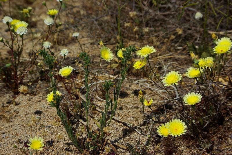 Desert dandelion with fiddleneck (Amsinckia menziesii?) , Joshua Tree NP