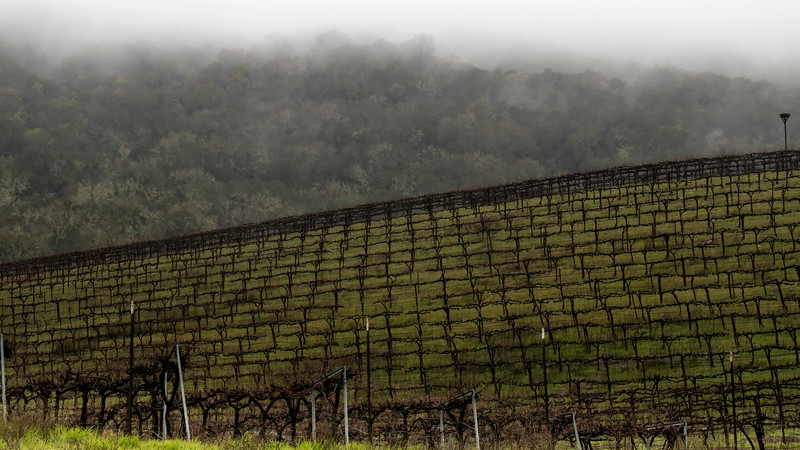 misty oaks and vines
