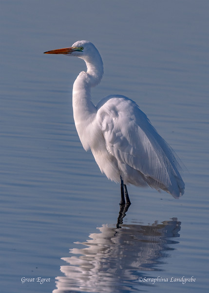 _DSC8954Great Egret.jpg