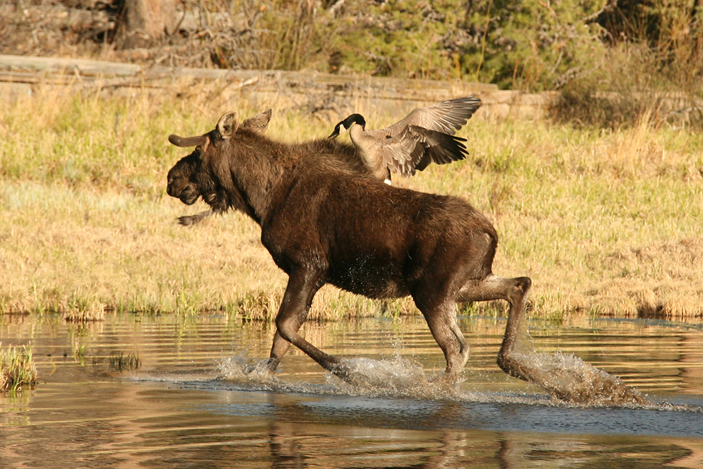 . A young bull moose gives ground after being attacked by a goose protecting its nest near the shore of Sprague Lake, spring 2014.  (Robert Burns / Special to the Trail-Gazette)