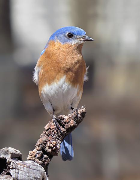 sx50_bluebird_boas_235.jpg