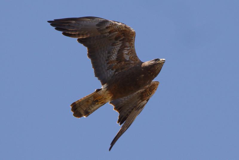Swainson's Hawk dark morph adult (9) at Firebaugh, CA (07-18-2009)