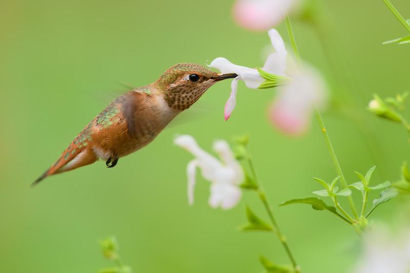 Juvenile Rufous Hummingbird