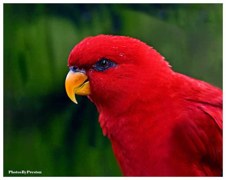 Animal Description:  Breed Standard  The Red Lory is a beautiful, active parrot that is popular in aviculture, because it is well suited to a variety of homes.  The Red Lory, also known as the Moluccan Lory or the Red Moluccan Lory is popular among some hobbyists because it is not as noisy as some other parrot species. This is not to say that they don't make noise. All parrots make noise, it is just a matter of degree. But, on average, this species is quieter than many others, and for this reason it may be more suited to apartment life than some of the other large parrots such as amazons and macaws. The Red Lory is known for its excellent mimicking ability. Their ability to talk, however, is inconsistent at best. While some Red Lories are known to speak this is not the norm and you should not expect your Red Lory to speak. Red Lories are active birds and they need as big a cage as you can afford. They love to play and are great acrobats! Red Lories are also very intelligent. It should be noted that some Red Lories have been known to defecate from the sides of their cages, which can cause quite a mess. Some hobbyists suggest placing acrylic around the edges of the cage to help prevent this from happening. Some Lories are possessive of their toys and cages - for this reason they should be handled frequently, to prevent aggression.  The Red Lory is quite handsome with its brilliant red plumage. Each of its bright red feathers is tipped with a whitish shaft. The feathers on its secondary and wing covets are tipped with black. Black is the main color for the primaries, but they possess a red speculum. The underside of the tail is a dull red, with the upper side covered in reddish brown plumage. They have an orange bill, with reddish brown eyes. There is no visible difference between males and females. Immature Red Lories have dark eyes and dark bills. They are smaller than many of the larger parrots reaching an average 12 inches (31cm) at adulthood, with wingspans of six
