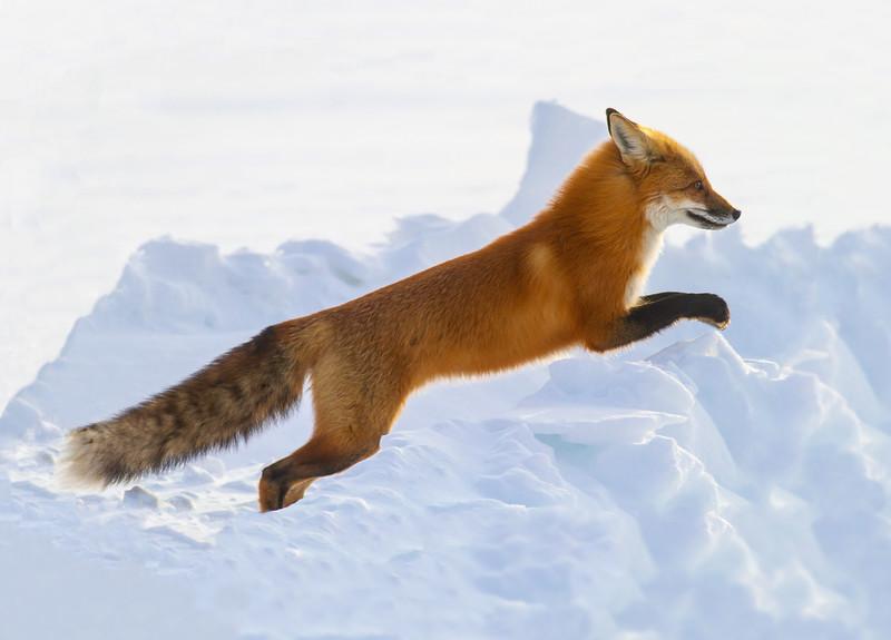 Red Fox hunting off CR29 Racek Road Sax-Zim Bog MN IMG_0065.jpg