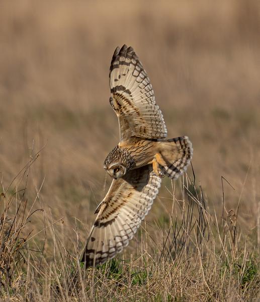 Short Eared Owl Diving