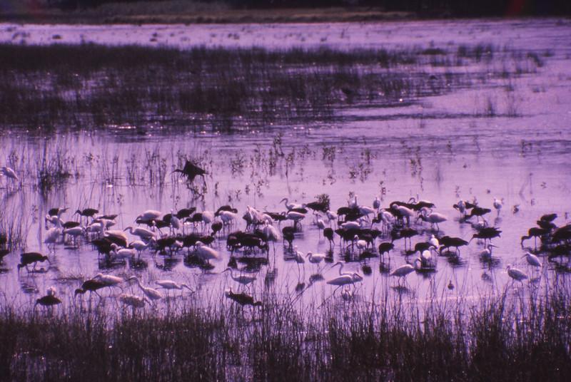 Chincoteague 1981-07 009.jpg