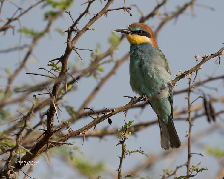 European Bee-eater, Phinda PGR, KZN, SA, Oct 2016-1.jpg