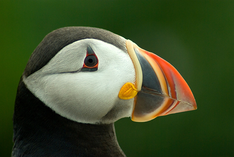 Atlantic Puffin, Machias Seal Island, Grand Manan, NB Canada