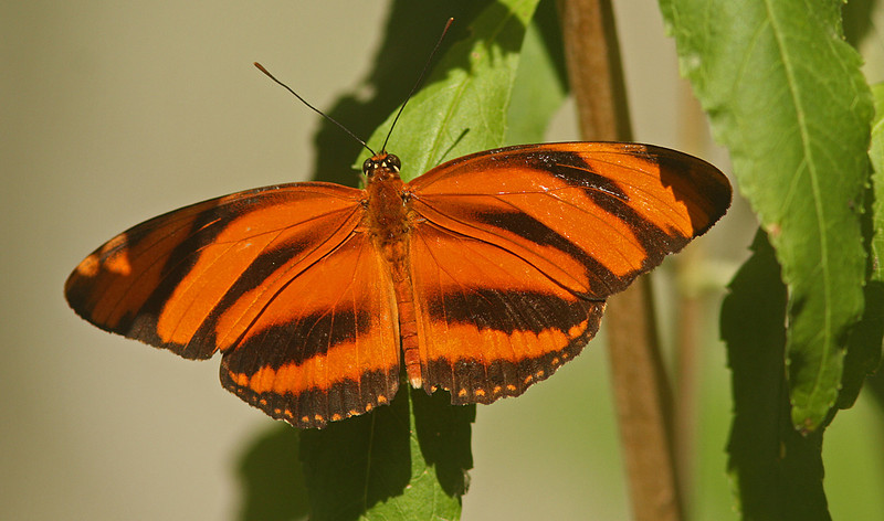 Banded Orange, Turtle Bay, Redding CA