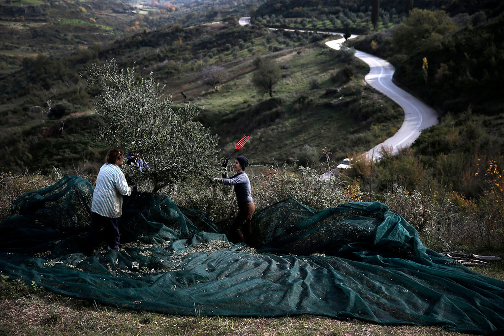 . In this Monday, Dec. 2, 2013 photo, Vasiliki Bourou, right, a private sector employee who lives in Athens, collects olives with relatives at a family olive grove in Kalo Pedi village, about 335 kilometers (210 miles) west of Athens. Plans to extend a brutal efficiency drive to olive oil production in Greece have been met with anger and disbelief. If proposals from a government funded study are adopted, olive oil blended with cheaper vegetable oils will soon go on sale as part of an effort to modernize Greece\'s economy, which was rescued from near bankruptcy four years ago. (AP Photo/Petros Giannakouris)