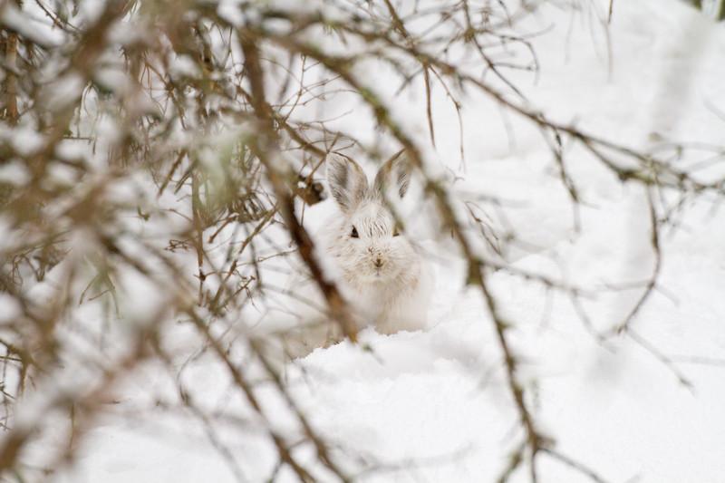 Snowshoe Hare Warren Nelson Memorial Bog Sax-Zim Bog MN IMG_0715.jpg