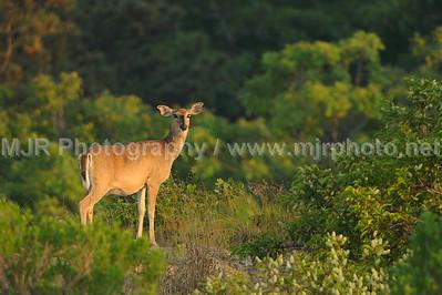 Deer in Velvet, Montauk, NY 08.03.08