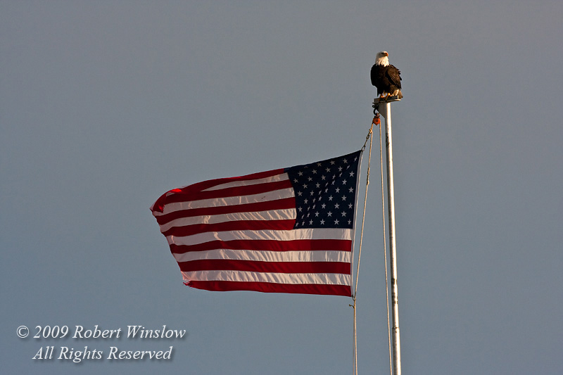Bald Eagle, Haliaeetus leucocephalus, Perched on a Flagpole flying the American Flag, Kenai Peninsula, Alaska