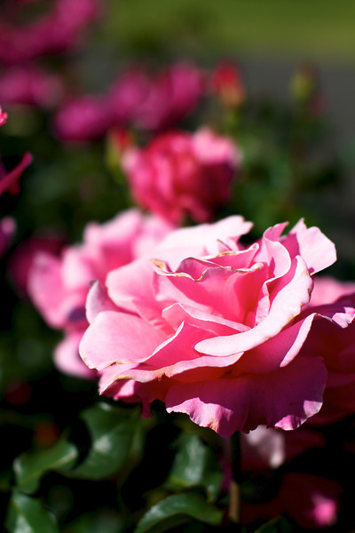 Portland Oregon Rose Garden 6/25/11