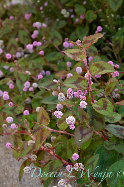 Persicaria capitata ground cover_1388.jpg