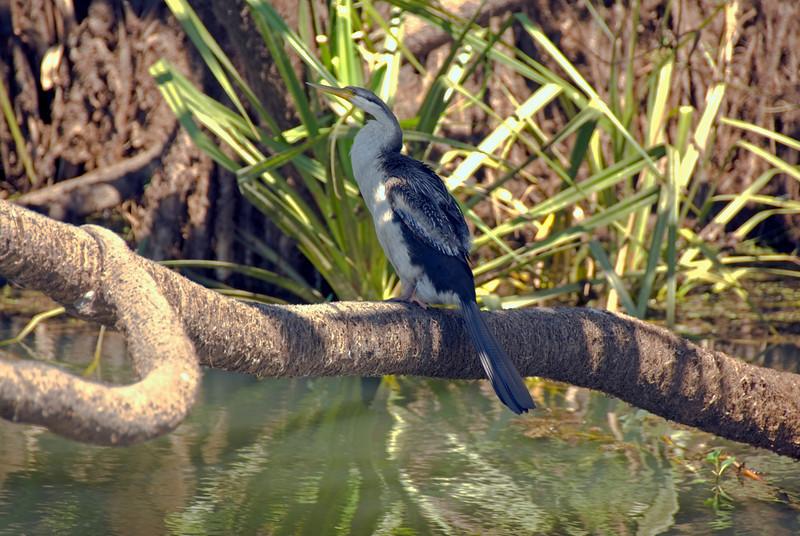 Bid on Perch, Alligator River, Kakadu National Park - Northern Territory, Australia