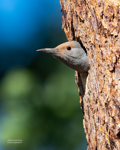 Northern Flicker (red-shafted), Yellowstone NP, WY, USA May 2018-2.jpg