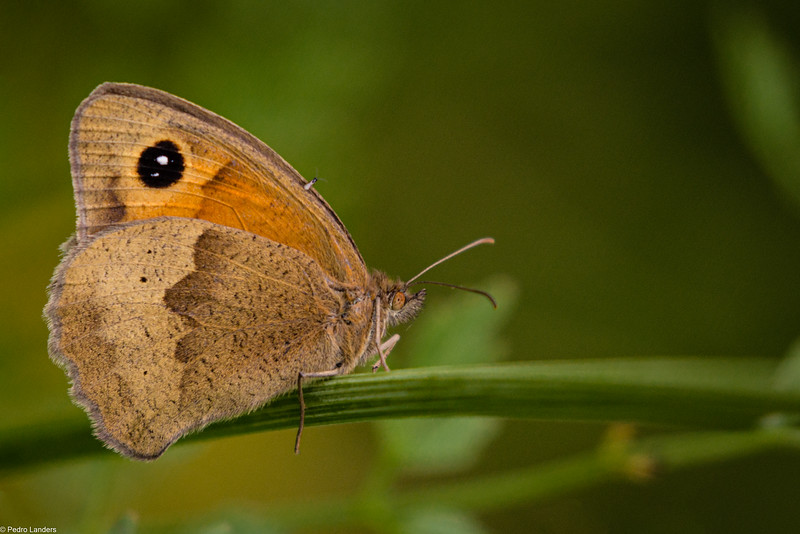 Meadow Brown and Passenger
