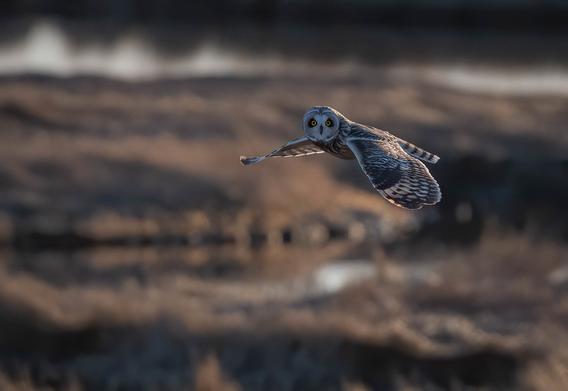 _5006116-Edit Short-eared Owl fly by.jpg