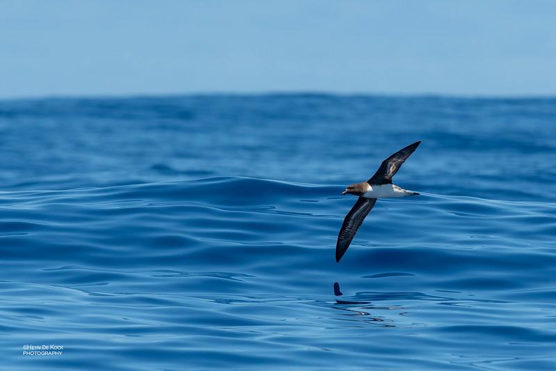 Tahiti Petrel, Southport Pelagic, Qld, Aus, Oct 2018-3.jpg