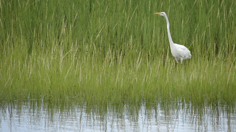 Egret, Bridgeport, Connecticut