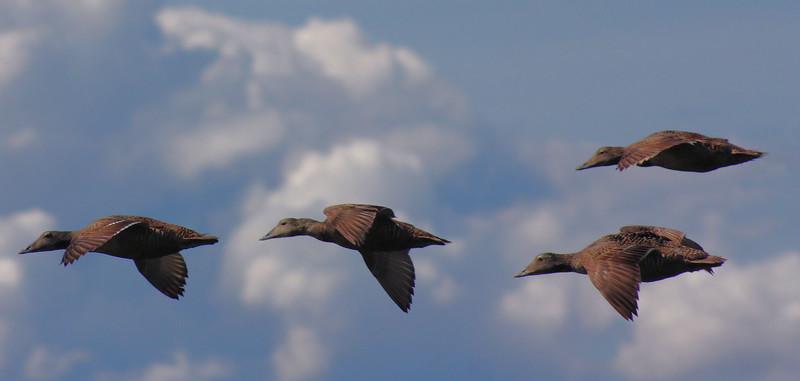 Eiders in Flight