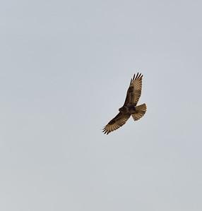 Musvåk(buzzard)
