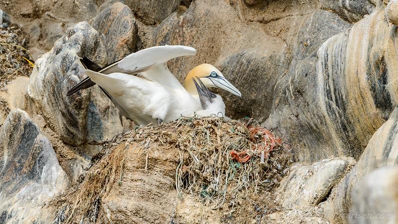 Sule (Morus bassanus - Northern gannet)