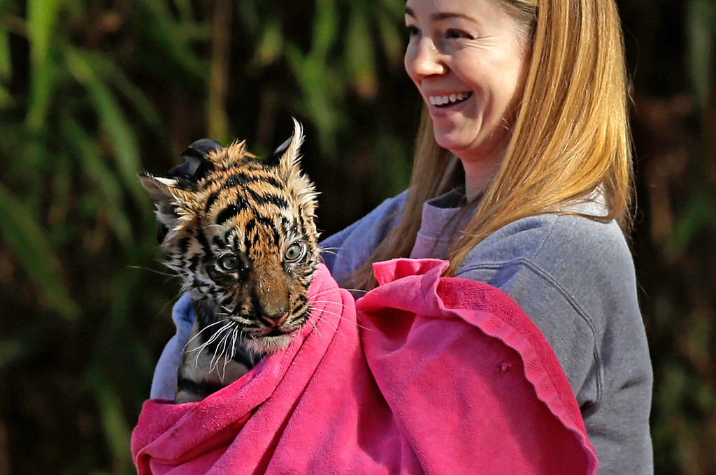 """. A female Sumatran Tiger cub named Sukacita is dried off by biologist Leigh Pitsko after performing the cub performed her \""""swim test\"""" in a moat of the Great Cats exhibit at the National Zoo November 6, 2013 in Washington, DC.  (Photo by Win McNamee/Getty Images)"""