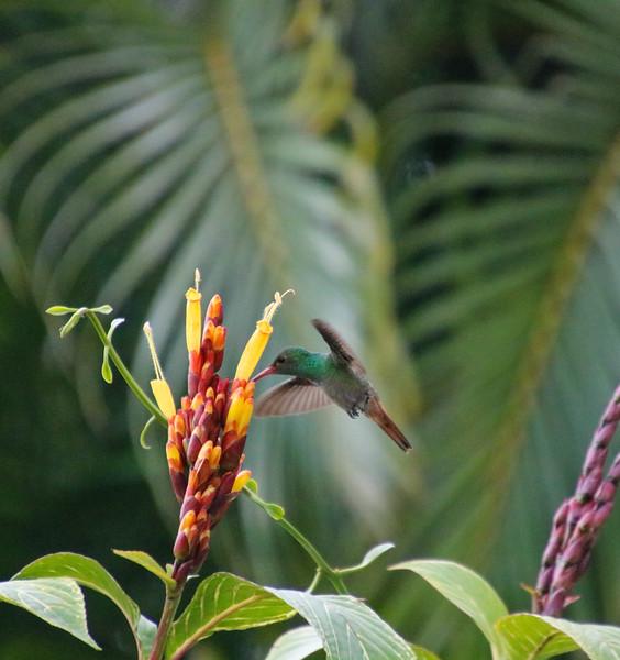 flying Hummingbird on a flower