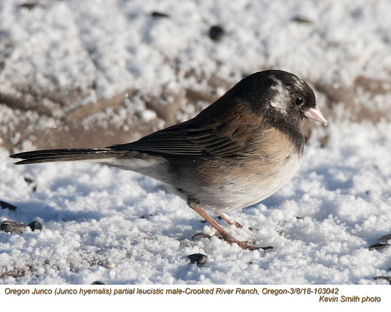 Oregon Junco leucistic M103042.jpg